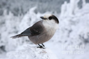 Sized Metal Prints - Gray Jay - White Mountains New Hampshire USA Metal Print by Erin Paul Donovan