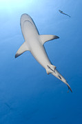 Below Framed Prints - Gray Reef Shark With Remora, Papua New Framed Print by Steve Jones