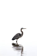 Legs Spread Prints - Great Blue Heron Print by Jason Smith