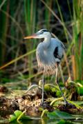 Waterfowl Prints - Great Blue Heron Print by Matt Suess
