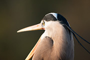 Michael McStamp - Great Blue Heron