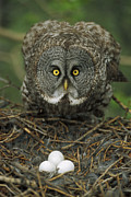 Animal Behaviour Art - Great Gray Owl Strix Nebulosa Parent by Michael Quinton