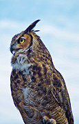 Great Horned Owl Framed Prints - Great Horned Owl Framed Print by Linda Pulvermacher