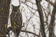 Great Horned Owl Print by Matt Steffen
