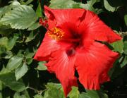 Great Outdoors Painting Prints - Great Red Hibiscus 1 Print by Ellen Henneke