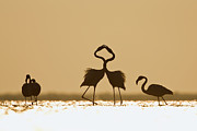 Greater Flamingos Posters - Greater Flamingo Phoenicopterus Ruber Poster by Konrad Wothe