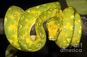 Hunter Green Prints - Green Tree Python Print by Dante Fenolio