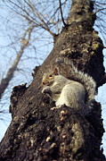 Sciurus Carolinensis Prints - Grey Squirrel Print by Georgette Douwma