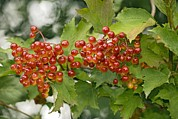 Drupe Framed Prints - Guelder-rose (viburnum Opulus) Framed Print by Bob Gibbons