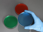 Glove Prints - Hand Holding Petri Dish Print by Photo Researchers
