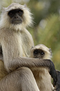 Embracing Posters - Hanuman Langur Semnopithecus Entellus Poster by Pete Oxford