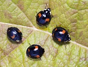 Variants Framed Prints - Harlequin Ladybirds Framed Print by Sheila Terry
