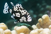 Reef Fish Posters - Harlequin Sweetlips Poster by Georgette Douwma