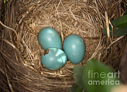 American Robin Photos - Hatching Robin Nestlings by Ted Kinsman