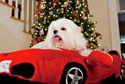 Maltese Dog Photos - 2 Haute by Leslie Leda