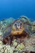 Seafloor Prints - Hawaii, Green Sea Turtle Print by Dave Fleetham - Printscapes
