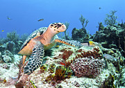 Hawksbill Sea Turtle Posters - Hawksbill Turtle Feeding On Sponge Poster by Karen Doody