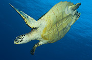 Cheloniidae Prints - Hawksbill Turtle In The Diving Print by Steve Jones
