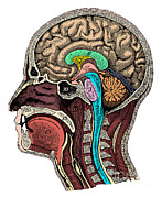 Brain Prints - Head And Brain Anatomy Print by Science Source