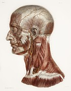 Lingual Artery Posters - Head And Neck Anatomy, Historical Artwork Poster by