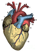 Human Heart Posters - Heart Poster by Science Source