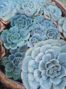 Flora Pastels Prints - Hens and Chicks Print by Debbie Harding