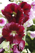 Althea Photos - Hollyhock (alcea Rosea) by Dr Keith Wheeler