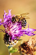 Purple Acrylic Prints - Honey bee  Acrylic Print by Elena Elisseeva