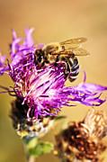 Honey Bee  Print by Elena Elisseeva