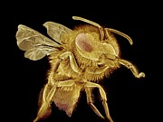 Sting Art - Honey Bee, Sem by Susumu Nishinaga