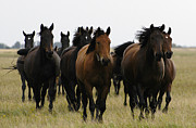 Horse Herd Photo Prints - Horse herd in Hungary Print by Michael Mogensen