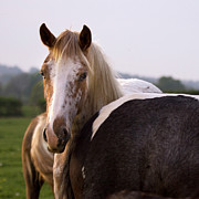Grey Horse Photos - Horses by Angel  Tarantella