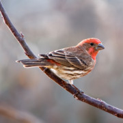 Songbirds Prints - House Finch Print by Betty LaRue