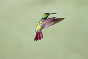 Colored Background Prints - Hummingbird Print by David Tipling