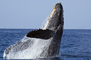 Featured Art - Humpback Whale Breaching Maui Hawaii by Flip Nicklin