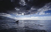 Featured Art - Humpback Whale Tail Maui Hawaii by Flip Nicklin