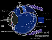 Colorized Prints - Illustration Of Eye Anatomy Print by Science Source