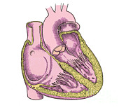 Cava Posters - Illustration Of Heart Anatomy Poster by Science Source