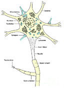 Granular Posters - Illustration Of Motor Neuron Poster by Science Source