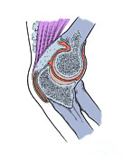 Human Joint Art - Illustration Of Right Elbow Joint by Science Source
