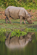 One Horned Rhino Prints - Indian Rhinoceros Rhinoceros Unicornis Print by Theo Allofs