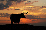 Texas Longhorns Framed Prints - Into The Sunset Framed Print by Robert Anschutz