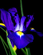 Fragrant Pyrography Prints - Iris  Print by Imagevixen Photography