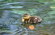 Duck - Just Ducky by Kathy Gibbons
