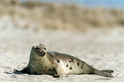 Seals Posters - Juvenile Harp Seal Basking In The Sun  Poster by Matt Suess