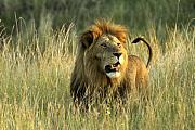Cats Photo Prints - King of the Savanna Print by Michele Burgess