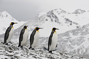 Featured Acrylic Prints - King Penguin Trio Walking South Georgia Acrylic Print by Flip Nicklin