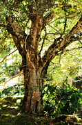 Best-selling Prints - Kingdom of the Trees. Peradeniya Botanical Garden. Sri Lanka Print by Jenny Rainbow