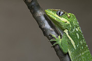 Reptiles - Knight Anole Photo by Meg Rousher