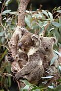 Koala Posters - Koala Phascolarctos Cinereus Mother Poster by Gerry Ellis